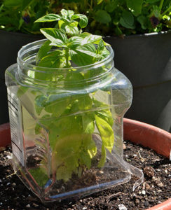 reuse plastic container to protect garden plants