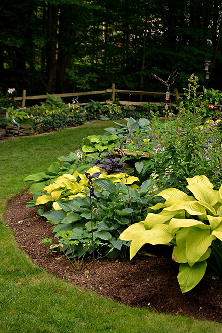yellow hosta and other hostas in garden bed