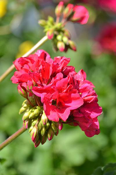 geranium past its prime