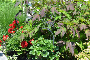 hibiscus with purple leaves, plus geraniums and strawberries in garden