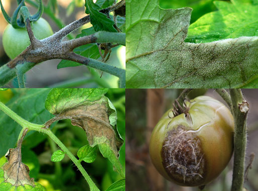 symptoms of late blight on tomatoes