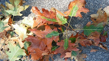 oak leaves showing symptoms of oak wilt