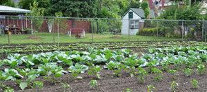 large vegetable garden on East Side of Buffalo