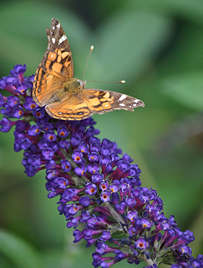 American painted lady on Black Knight butterfly bush
