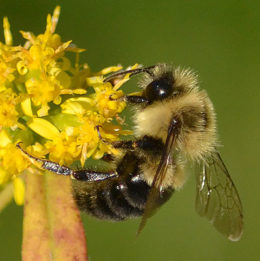 bumble bee on goldenrod by Stofko