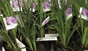 irises for sale