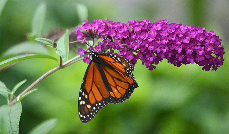 monarch on flower of butterfly bush