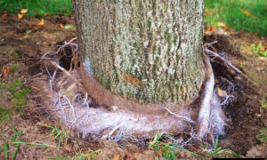 stem girdling roots on tree
