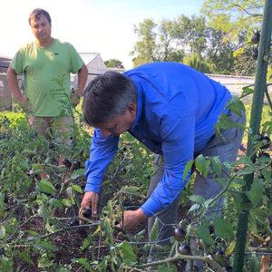 picking vegetables in Eco Garden