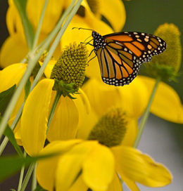 Butterfly on yellow flower by Stofko