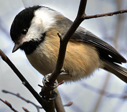 chickadee in tree