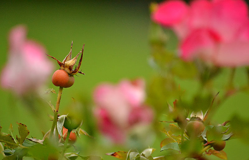 rose hip with flowers in background
