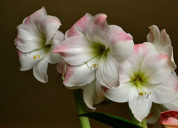 White and pink amaryllis in bloom by Stofko