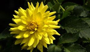 yellow dahlia flower by Stofko