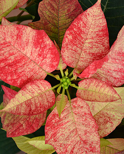 poinsettia 'Picasso' by Stofko