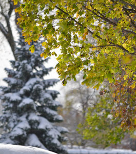 leaves on maple tree during snow