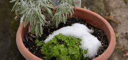 sage and parsley in snow by Stofko