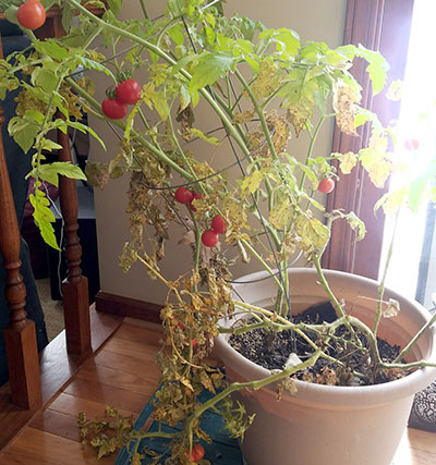 tomato plants ripening inside in autumn