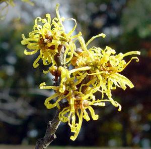 witch-hazel flowers