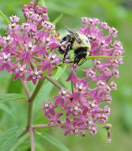 bee on swamp milkweed flower