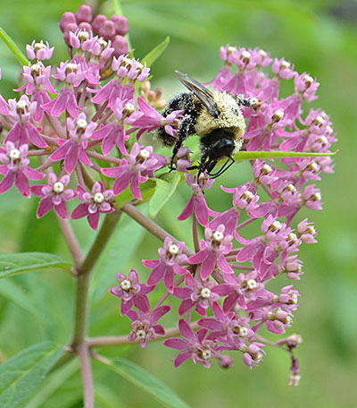 bee on swamp milkweed flower