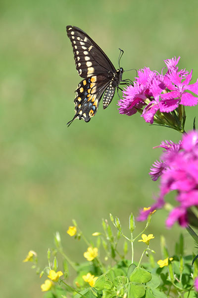 swallowtail butterfly on dianthus