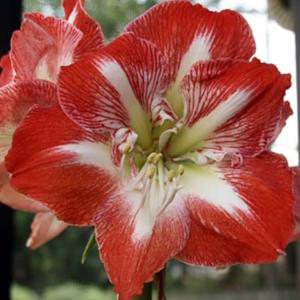 amaryllis Star of Holland