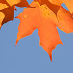 orange leaves and blue sky by Stofko