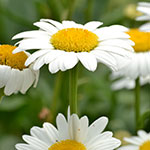 daisies by Stofko