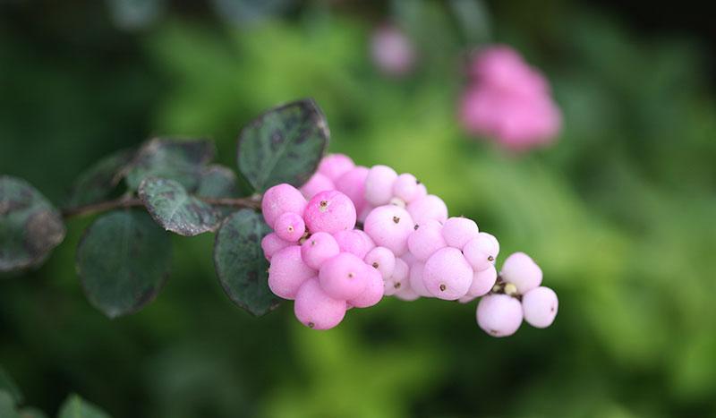 Symphoricarpos 'Proud Berry'