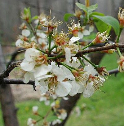 blooms of American plum