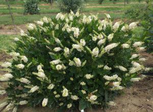 Clethra alnifolia Sugartina® 'Crystalina'
