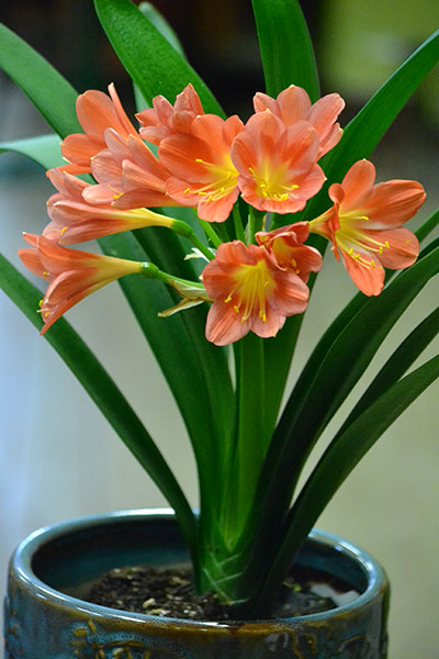 clivia in bloom by Stofko