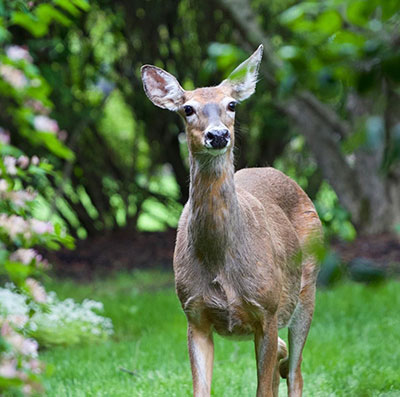 deer in backyard East Amherst NY