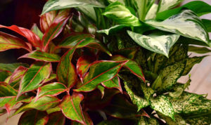 group of Chinese evergreen plants at Urban Roots in Buffalo NY