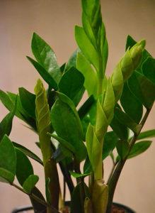 Zamioculcas zamiifolia or ZZ plant at Urban Roots in Buffalo