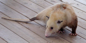 opossum on a deck