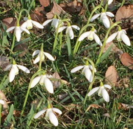 snowdrops flowers by Stofko