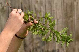 hands holding mint plant with roots