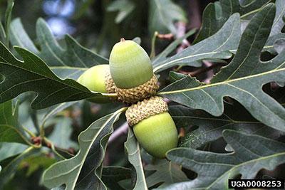 white oak (Quercus alba) L. with acorns