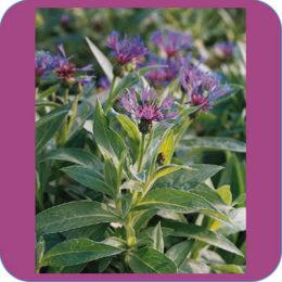 Centaurea montana courtesy Ivy Garth