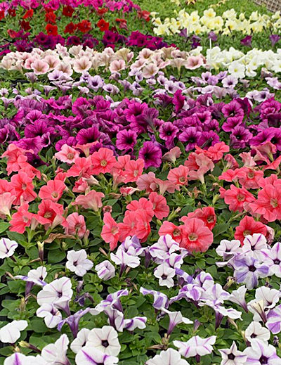 petunias at Mike Weber Greenhouses in West Seneca