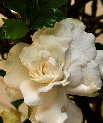 magnolia flower in Hamburg NY