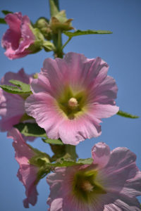 pink hollyhock by Stofko