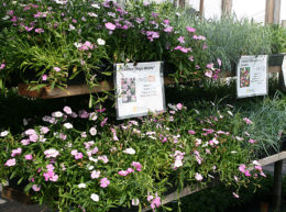 perennials at Mischler's Florist and Greenhouses in Williamsville