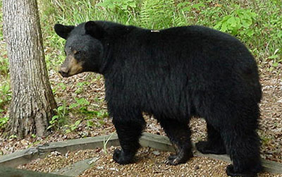 black bear courtesy Bugwood