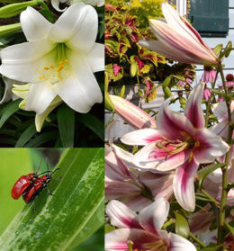 lilies and red lily leaf beetle