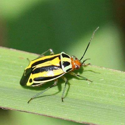 fourlined plant bug from Bugwood