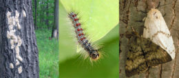 stages of Gypsy moth