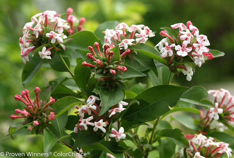 Sweet Emotion abelia from Proven Winners